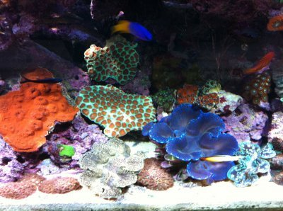 Salt water tank with bright corals